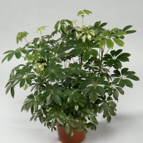 Schefflera arboricola 'Compacta' or Dwarf Umbrella Tree