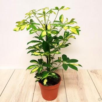 Schefflera arboricola 'Gold Capella' or Dwarf Umbrella Tree