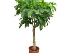 شجرة المال Pachira aquatica, Malabar chestnut, Guiana chestnut or Money Tree