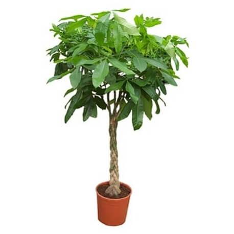شجرة المال Pachira aquatica, Malabar chestnut, Guiana chestnut or Money Tree