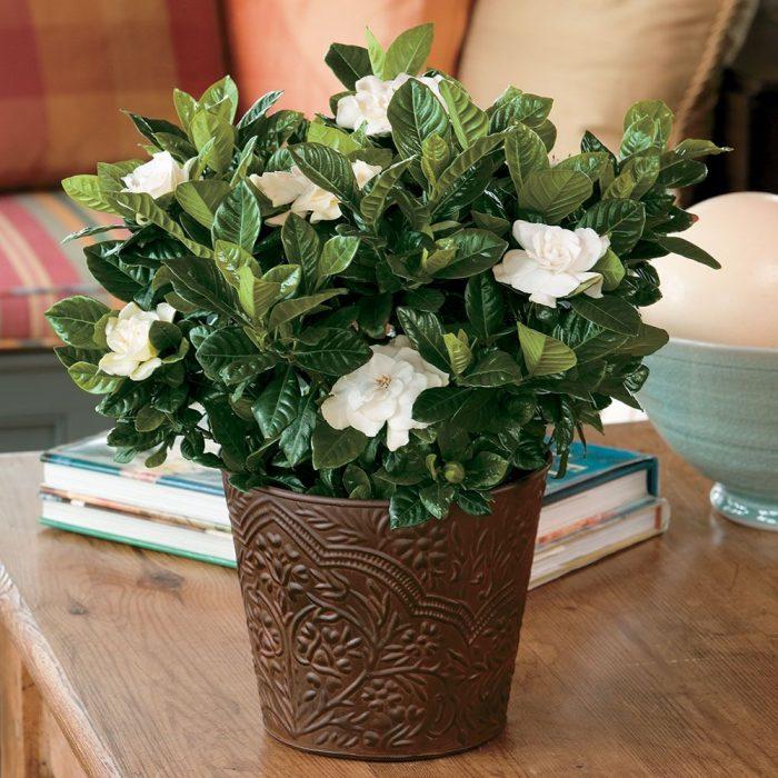 Gardenia jasminoides or Cape Jasmine كيب ياسمين