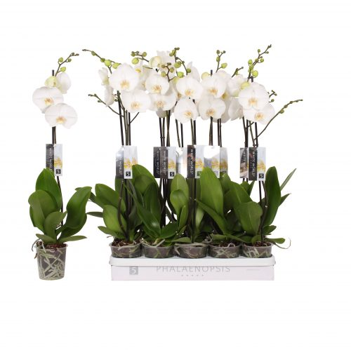 real orchid plants