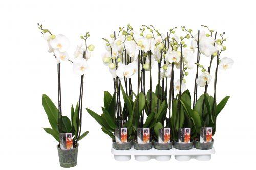 orchids double stem