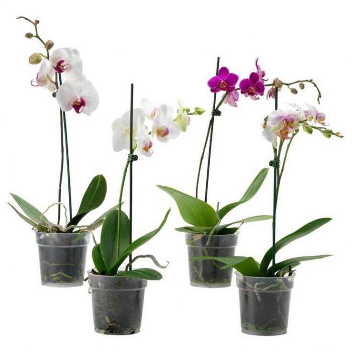 moth orchids phals dubai UAE
