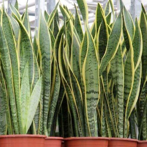 Sansevieria trifasciata 'Laurentii' or Snake Plant