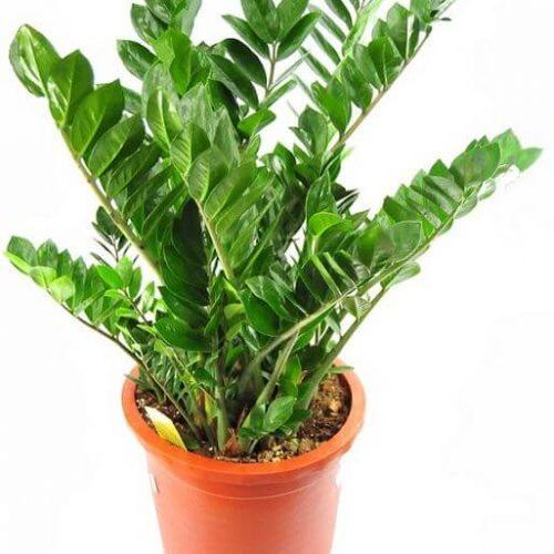 Zamioculcas zamiifolia, Zanzibar Gem or ZZ Plant