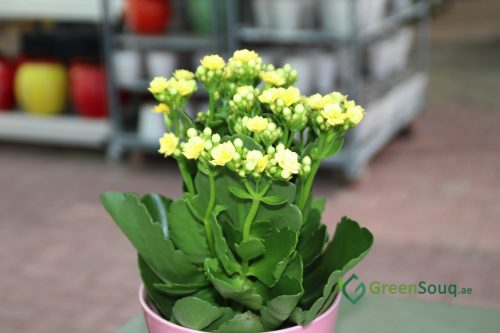 Kalanchoe blossfeldiana or Flaming Katy