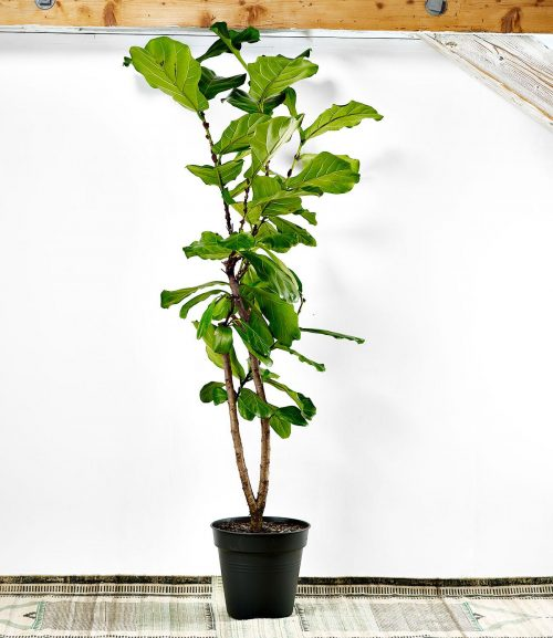 ficus lyrata or fiddle leaf fig