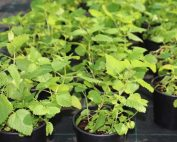mint or mentha plant use