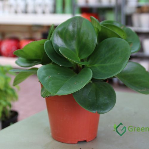 Peperomia obtusifolia indoor plant UAE