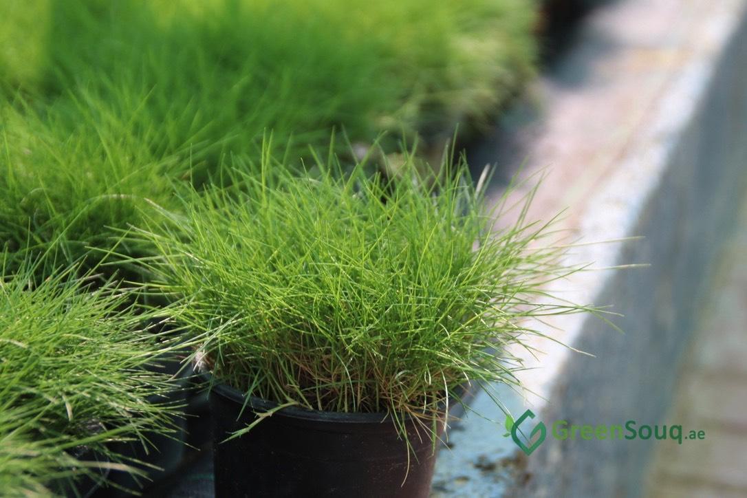 Zoysia japonica Zoysia Grass Japanese lawn