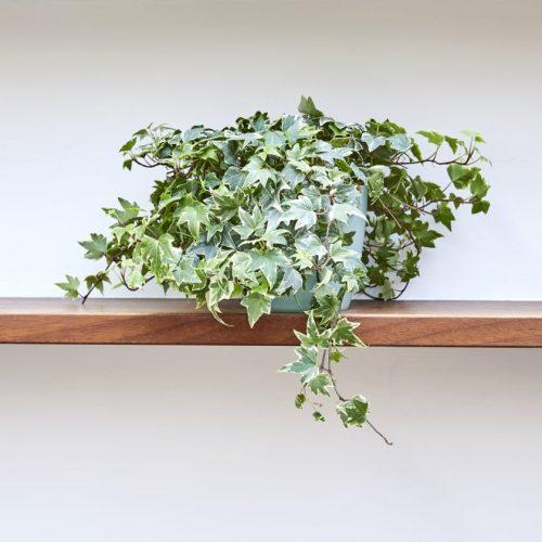 variegated hedera, variegated english ivy