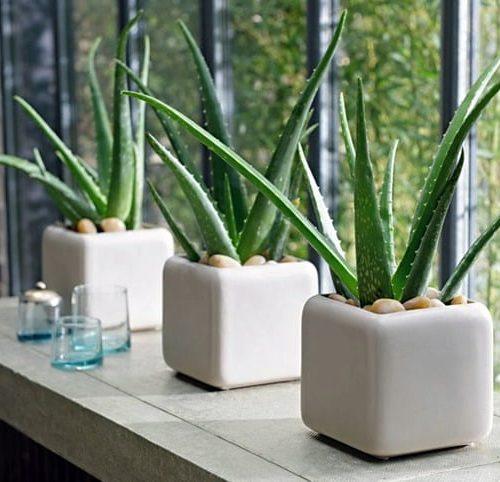 indoor aloe vera, medicinal herb