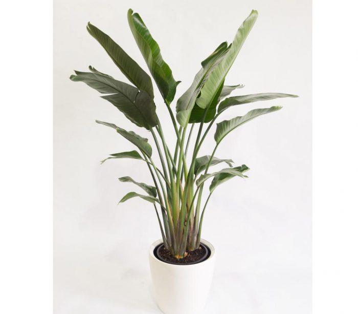 Strelitzia nicolai or Bird of Paradise | Buy Online