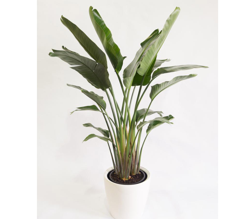 Strelitzia nicolai or Bird of Paradise | Buy Online