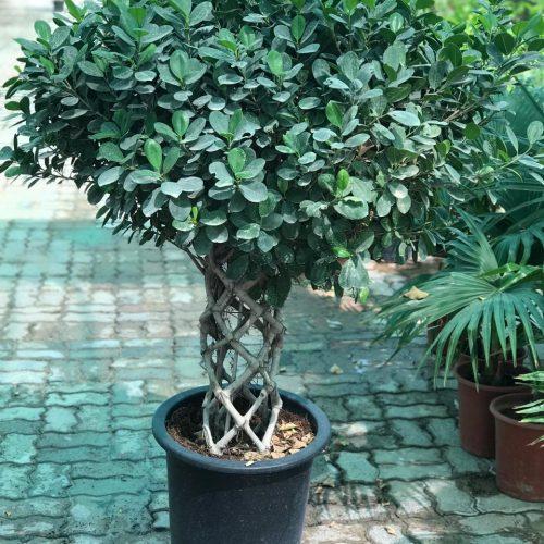 """Ficus panda """"Cage shape"""""""