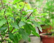 Ocimum tenuiflorum, Tulsi plant or Holy Basil