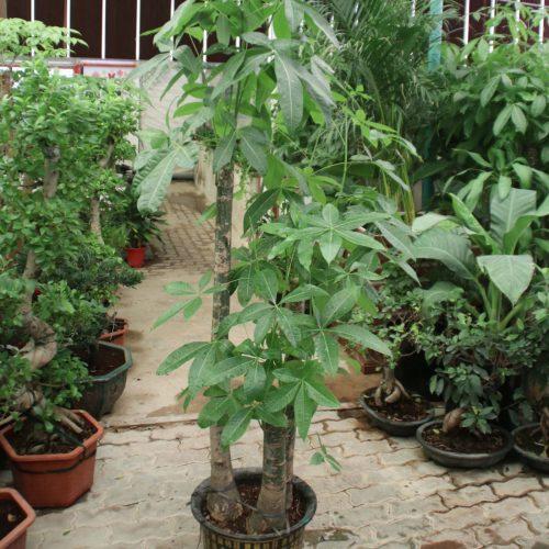 pachira triple trunk money tree
