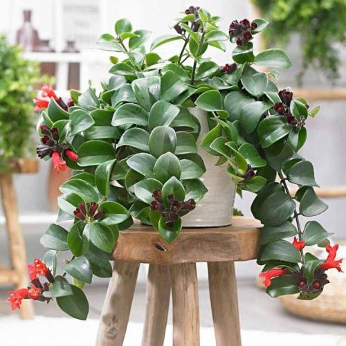 Indoor Evergreen plants