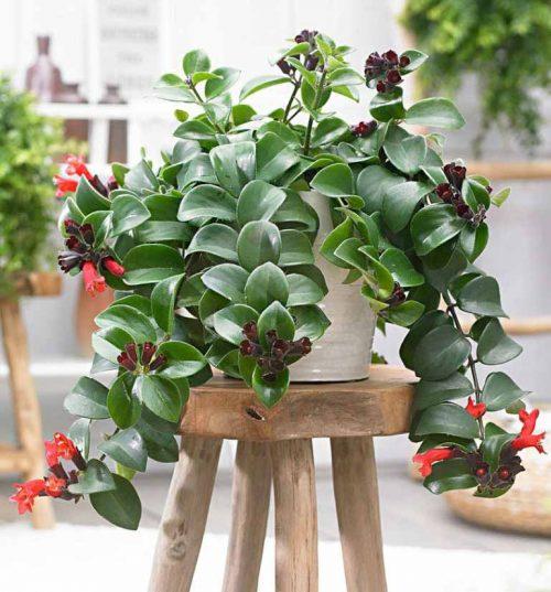 Indoor Evergreen plants