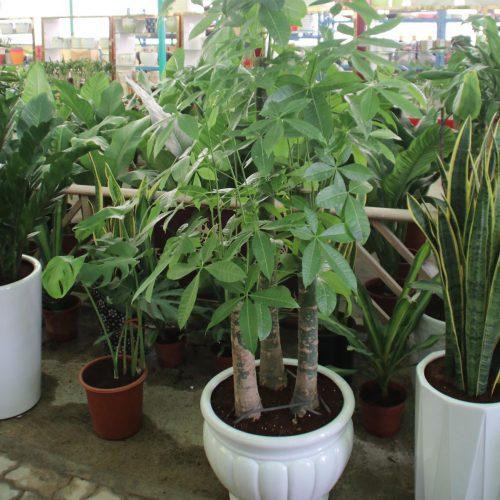 MONEY TREE PACHIRA