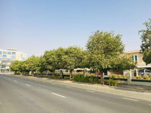 Ficus altissima or Council Tree