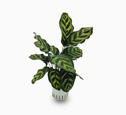 "Calathea zebrina ""Zebra Plant"" 30-40cm"