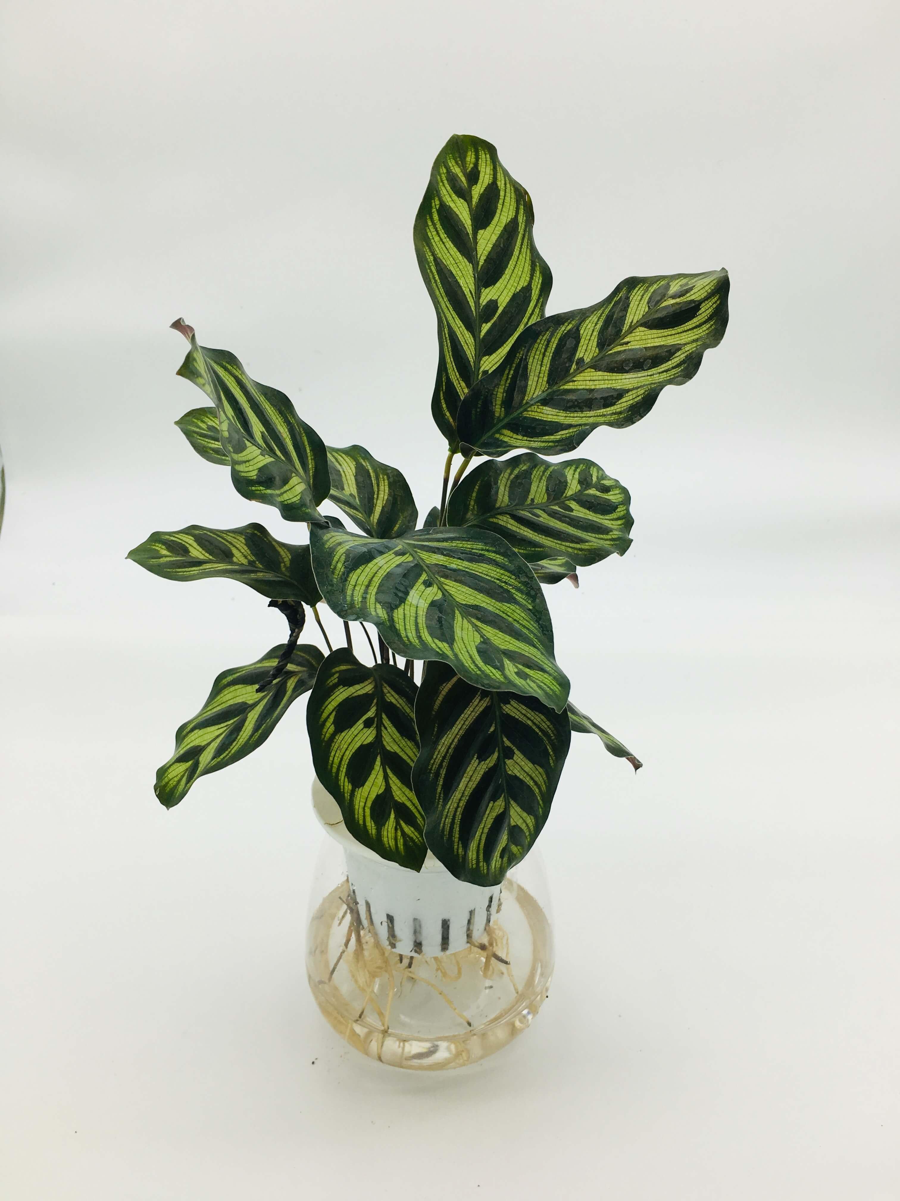 "Calathea zebrina ""Zebra Plant"" 25-30cm"