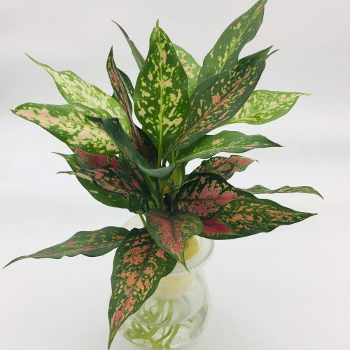 "Aglaonema Sp. ""wishes"" 20-30cm 