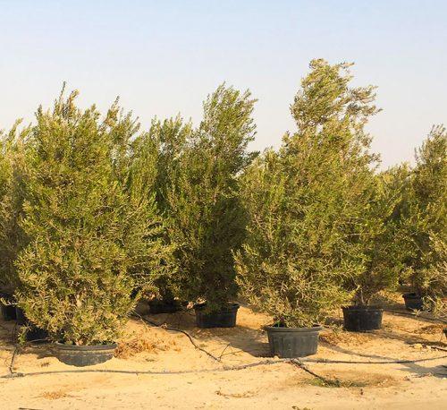 """Olea europea or Olive Tree """"Conical Shape"""" 2.5-3.0m"""