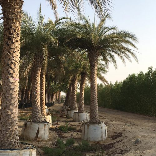 Phoenix sylvestris, Wild or Silver Date Palm