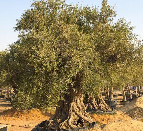 Olea europea or Mature Olive Tree 2.0m, 700-1000mm Dia