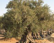 mature olive