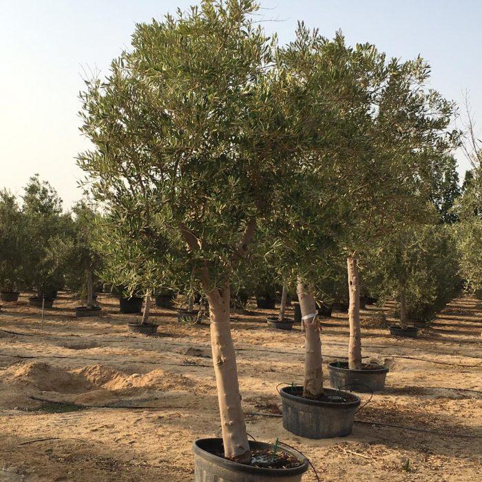 olive tree 80-100mm
