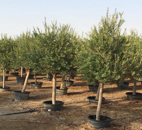 Olea europea or Mature Olive Tree 1.7m, 40-60mm Dia