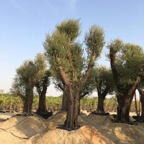specimen olive