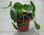 Pilea Peperomioides or Chinese Money Plant spread
