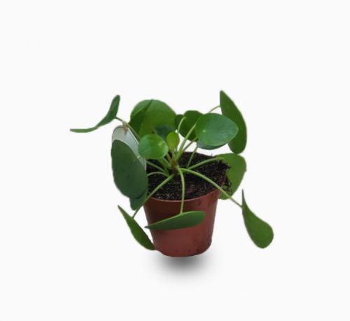 Pilea peperomioides or Chinese Money Plant