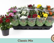 Chrysanthemum mix 20 – 25cm