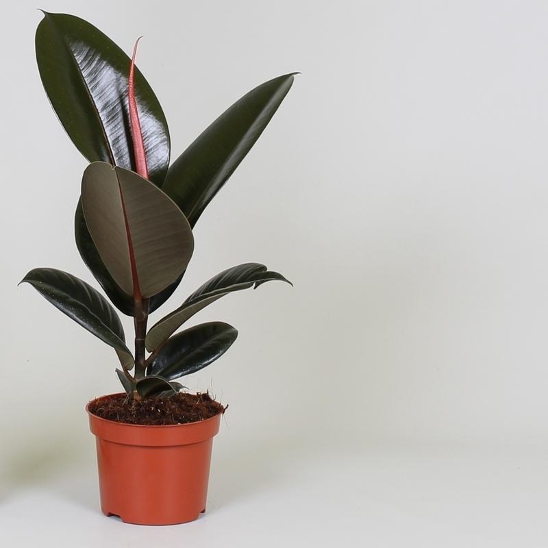 Ficus elastic Abidjan 30 – 40cm