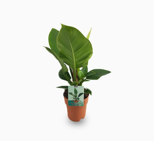 Philodendron Imperial Green 70 – 80cm