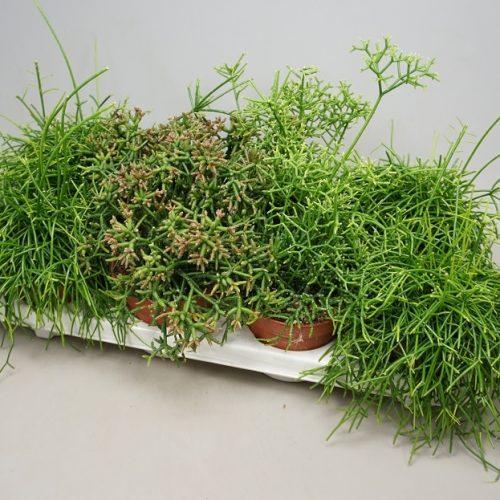Rhipsalis mix 10-15cm