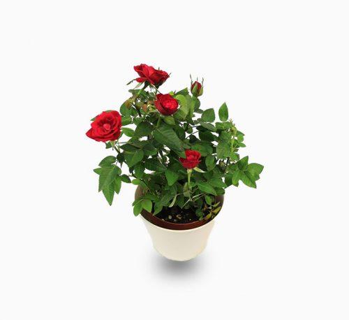 Rose plant indoor 20 – 30cm