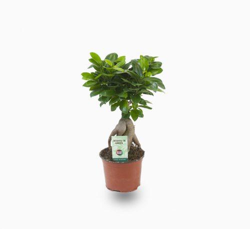 Ficus ginseng bonsai 25 – 30cm