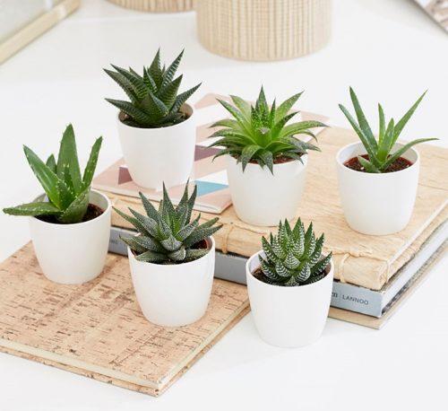 Mini succulents Haworthia 4-6cm per piece