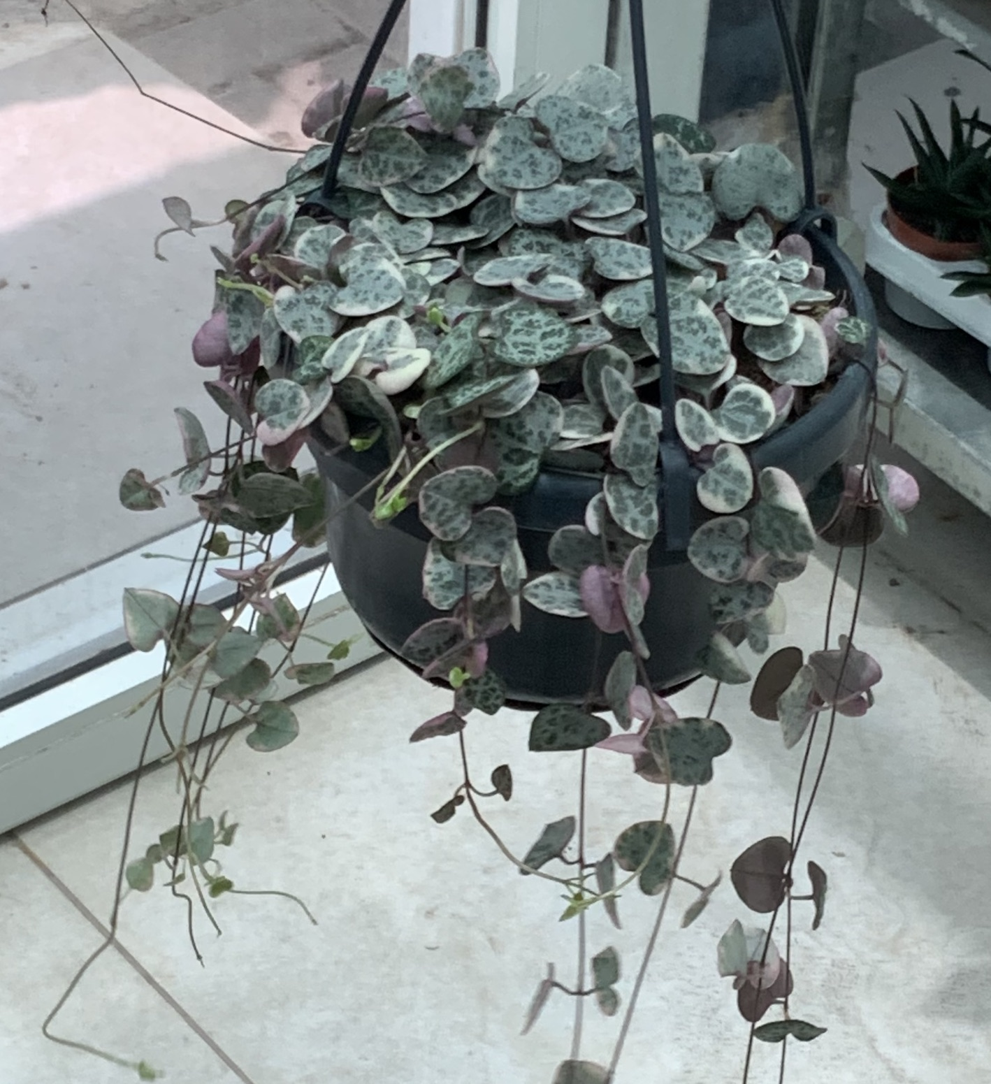 String of hearts variegated