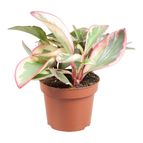 Peperomia Ginny or Tricolor Peperomia