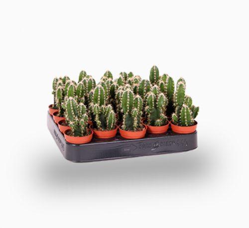 Cereus Peruvianus or Peruvian Cactus 5-10cm