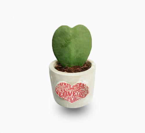 Hoya Kerrii Or Lucky Heart 5-8cm