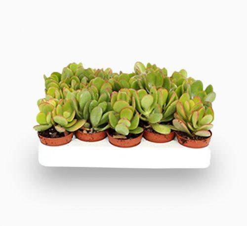"Crassula ovata Mini ""Dollar Plant Or Jade Plant"" 5-10cm"